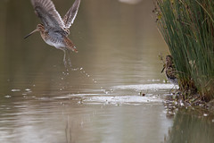 IMG_1646.jpg (eric.benetti) Tags: ariège bécassinedesmarais charadriiformes commonsnipe domainedesoiseaux gallinagogallinago mazères oiseau scolopacidés bird