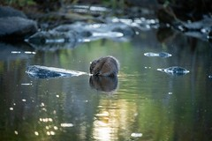 A muskrat forages in the last light of day (Beth Rizzo) Tags: nature naturesbest muskrat muskratlove wild wildanimal pond pondlife naturallight naturallightphotography wildlifephotography naturephotography animalkingdom foraging reflection water reflectionsinwater reflectioninwater sunset sunsetreflection wildlifephotograph wildanimalphotography muskrats