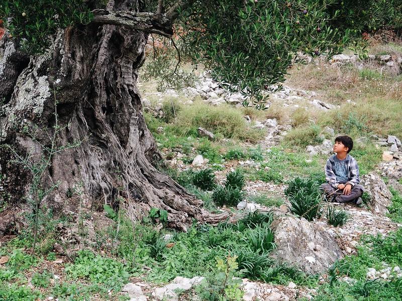 Oldest olive tree on Hvar. Making olive oil in Zastrazisce.