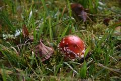 Pilzsaison 2019 - 25 (fotomänni) Tags: pilz pilze mushroom mushrooms champignon natur naturfotografie nature naturephotography natureshots naturimpressionen naturephotograps natureimpressions manfredweis fliegenpilz fliegenpilze