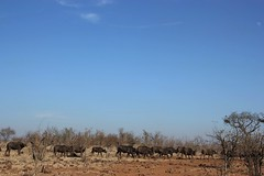 Herd of 600 Buffalo on their way to water and shade / Buffels (Pixi2011) Tags: buffalo southafrica africa wildlifeafrica wildlife big5 animals nature krugernationalpark fantasticnature