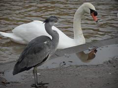 Heron bends (Nekoglyph) Tags: redcar cleveland autumn lake water lockepark nature grey heron bird wildlife puddle reflections mute swan orange white neck bend crest