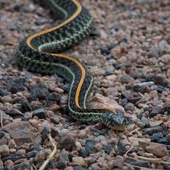 Wavy Line on the Trail (The Good Brat) Tags: nature wild wildlife colorado us thamnophisproximus westernribbonsnake garter snake reptile trail hike