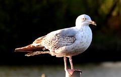 Common Gull(Larus canus) (jdathebowler Thanks for 4.5 Million + views.) Tags: commongull seabird seagull laruscanus ordercharadriiformes familylaridae