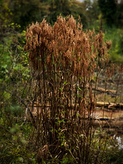 Autumn reeds in marsh (Thomas Cizauskas) Tags: reed marsh fen bog creek stream brook autumn decatur georgia