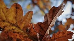 Autumn leaves (Oliver (Wolbadger)) Tags: ricohgr nature apsc cmos 28mm compact ricoh gr autumn leaf october leaves macro fall outdoor lancashire england uk unitedkingdom preston tree