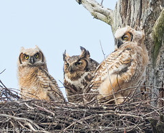 Great-horned Owl family. May 2019. (NorthShoreTina) Tags: greathornedowl owlet owl