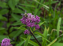Carpenter Bee Going To Work on Joe Pye Weed (TheNovaScotian1991) Tags: joepyeweed flowers purple carpenterbee insect beautiful outdoor green nikond7100 kakabekafalls northernontario canada