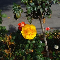 R9299755 (Kroni Toropov) Tags: nature flowers autumn rose ricoh ricohgxr gxr gxrs10 s10 photivo природа осень цветы