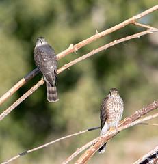 Cooper's Hawks (Ed Sivon) Tags: america canon nature lasvegas wildlife western wild southwest desert clarkcounty vegas flickr bird birdofprey henderson nevada hawk