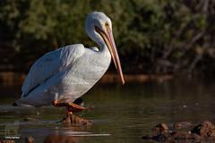 Sloshing (Jasper's Human) Tags: whitepelican bird pond slosh
