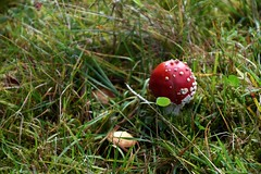 Pilzsaison 2019 - 40 (fotomänni) Tags: pilz pilze mushroom mushrooms champignon natur naturfotografie nature naturephotography natureshots naturimpressionen naturephotograps natureimpressions manfredweis fliegenpilz fliegenpilze
