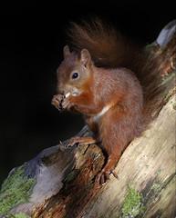 Red Squirrel (Sciurus vulgaris) (Fly~catcher) Tags: sciurus vulgaris red squirrel
