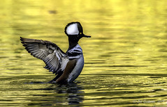 Hooded Merganser (m) (Bob Gunderson) Tags: birds california divingducks ducks goldengatepark hoodedmerganser lloydlake lophodytescucullatus mergansers northerncalifornia sanfrancisco fantasticnature birdwatcher