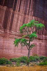 Canyon de Chelly Tree (Alan Amati) Tags: amati alanamati america american usa us arizona southwest west fourcorners goldencircle grandcircle canyon canyondechelly nationalpark national natural np tree sandstone navajo nativeamerican wall life solitaire lone landscape