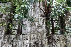Vines and Leaves Protrude through Old Wall in Rangoon, Burma