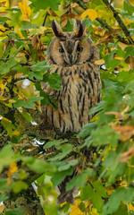 Waldohreule in ihrem Schlafbaum (normen.nikon) Tags: d4 nikon 200500 wildlife natur bird vogel owl eule nacht baum berlebach manfrotto tiere waldohreule