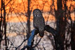 Great Grey Owl // Chouette Lapone (photo.dan.stevenson) Tags: chouette hibou hiboux rapace bird
