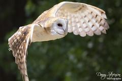 Barn Owl // Effraie des clochers (photo.dan.stevenson) Tags: hibou hiboux rapace effraie bird