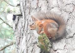 (BSCG (Badenoch and Strathspey Conservation Group)) Tags: mammal fdon november pinus woodlandedge sciuridae sciurus redsquirrel