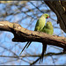 Loved up Parakeets...