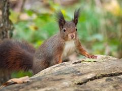 Eichhörnchen (holgerreinert) Tags: 2019 50200 eichhörnchen elmarit hes50200 leica ludwigsburg monrepos november squirell vario naturelove