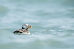 ... life on the Ocean Wave ... (Grandpops Woodlice) Tags: alaska cookinlet duckisland puffin hornedpuffin