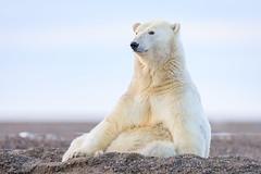 Polar Bear Seated (Loren Mooney) Tags: alaska bear wildlife mammal americanbirds bird kaktovik outdoors nature canon polarbear wilderness animal american bearsursidae birding birds birdwatching wild wings
