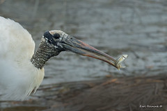 Breakfast is served.. (Earl Reinink) Tags: fish fishing stork woodstork swamp water nature food earlreinink southcarolina