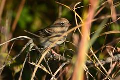 Field Sparrow in Brush (NaturalLight) Tags: fieldsparrow sparrow migration chisholmcreekpark wichita kansas