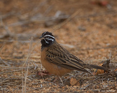 Cinnamon-breasted Bunting (leendert3) Tags: leonmolenaar southafrica krugernationalpark wildlife wilderness wildanimal nature naturereserve naturalhabitat bird cinnamonbreastedbunting naturethroughthelens coth5 ngc npc