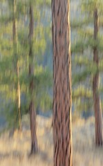 Ponderosa Pines in the Late Afternoon (Goose Spittin' Image Photography) Tags: artistic ponderosa pines afternoon light icm penticton ellis canyon autumn colours grasses trees forest