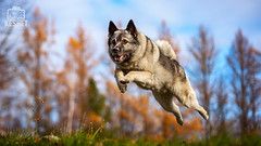 Picture of the Day (Keshet Kennels & Rescue) Tags: adoption dog dogs canine ottawa ontario canada keshet large breed animal animals kennel rescue pet pets field nature autumn fall photography norwegian elk hound elkhound jump leap soar high height blue sky tamarack larch needles pine needle low angle