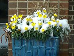 Snowflowers (novice09) Tags: flowers snow cold ipiccy