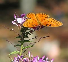 Gulf fritillary in purple - yesterday @ Gibbs Gardens (Vicki's Nature) Tags: gulffritillary butterfly orange purple blossoms flowers gibbsgardens georgia november fall vickisnature 70o canon s5 3975