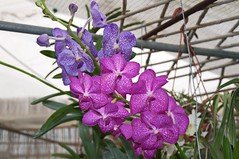 Vandaceae (douneika) Tags: vandaceae orchidea orchidaceae orquidea orchid orchidee vanda