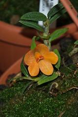 Dendrobium cuthbersonii (douneika) Tags: dendrobium cuthbersonii orchidea orchidaceae orquidea orchid orchidee taxonomy:family=orchidaceae taxonomy:binomial=dendrobiumcuthbersonii