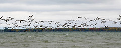 Where Out of Here! (Anthony Mark Images) Tags: migration geesemigration headingsouth flyingaway flying canadageese waterfowl wves lakesimcoe coloursoffall fall autumn changingleaves fleeing overcast cloudy beaverton ontario canada wildlife nikon d850 flickrclickx flockofgeese