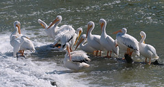 One Of These Things is Not Like The Others (Kaptured by Kala) Tags: americanwhitepelican whitepelican pelican pelecanuserythrorhynchos winterbirds aquaticbird aquatic waterfowl whiterocklake dallastexas lowerspillwaysteps preening foam whitewater greategret egret whiteegret ardeaalba waders floodwaters froth