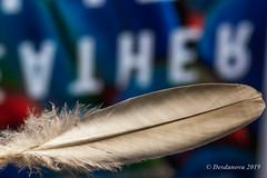 Feather (Desdanova) Tags: black macro macromondays feather white stockton california unitedstatesofamerica reflection blue red text