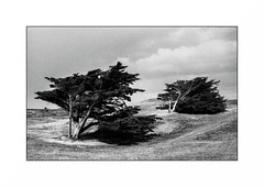 Crozon (Punkrocker*) Tags: nikon fm2n nikkor 50mm 5014 ai kodak tmax 400 nb bwfp bnw monochrome beach plage sea surf tree crozon finistere pennarbed bretagne brittany breizh france