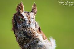 Screech Owl // Petit-Duc Maculé (photo.dan.stevenson) Tags: hibou hiboux rapace petitduc bird