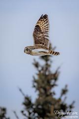 Short Eared Owl // Hibou des marais (photo.dan.stevenson) Tags: hibou hiboux rapace bird