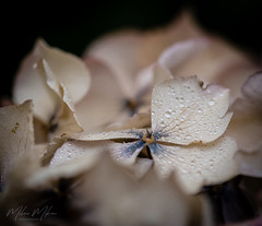 Slightly Faded (milan_146) Tags: lookingcloseonfriday autumnflora flora hydrangea autumn flower faded dried colour light macro closeup d7100 nikkor nikkor105mmf28gvrmicro