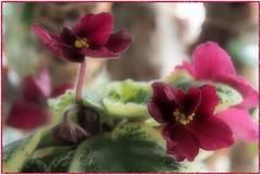 Mac's Something Special blooming - African violet (Adam Nowak) Tags: olympus60mmf28 redflower violet petals violets color flowers leaves buds hair saintpaulia africa