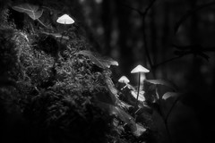 The Glowing Trio (lja_photo) Tags: nature no person photography night woods woodland wood tree trunk branch branches leaves autumn fall tranquil white europe exploration exposure evening illuminated trees textures haze outdoors outdoor ourluxembourg art abstract alone shadows dramatic detail fine fuji xt20 forest fog light landscape luxembourg lights lighting contrast visitluxembourg black bw bnw blackandwhitephoto natural monochrome monotone monoart moody mist mood misty mushroom glow glowing plant season photoadd copse fungus toadstool deciduousforest