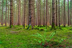 Bei uns im Wald (Janos Kertesz) Tags: nature tree forest green wood trunk landscape environment woodland pine woods evergreen autumn leaf gauting bavaria bayern