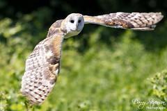 Barn Owl // Effraie des clochers (photo.dan.stevenson) Tags: hibou hiboux rapace bird