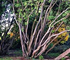 Autumn fanfare (BrooksieC) Tags: autumn trees green gold leaves country nature ireland belfast northernireland