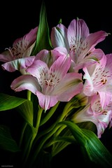 Peruvian Lily (josephzmuda2) Tags: nature white autumn stilllife fineart northamerica pennsylvania pittsburgh botanical lily flora floral color macro petals plants lilyoftheincas peruvianlily alstroemeria flower